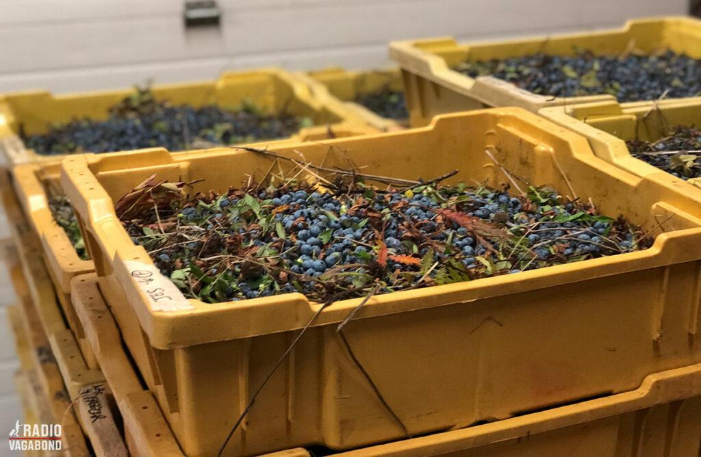 Efter blåbær er blevet plukket og samlet bliver de bragt hertil